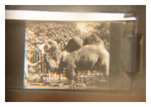 Kinora clip showing a camel and zookeeper. Image © The Bill Douglas Cinema Museum